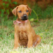 Stock Photo: RhodesiRidgeback puppy