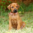 Rhodesian Ridgeback puppy — Stock Photo #21481727