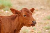 Vitello bestiame boran — Foto Stock