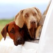 Farm dogs on pick-up — Stock Photo