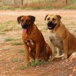 South African farm dogs — Stock Photo