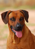 Rhodesian Ridgeback dog portrait — Stock Photo