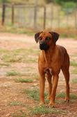 Rhodesian Ridgeback on guard on African farm — Stock Photo
