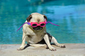 Pug dog with goggles — Stock Photo