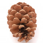 Big brown pine cone — Stock Photo #46390251