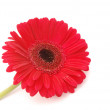 Red Gerber daisy on white — Stock Photo #46682669