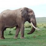 Постер, плакат: African elephant bull