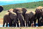 African elephants at water hole — Stock Photo