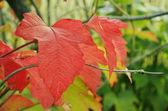 Red leaf viburnum. — Zdjęcie stockowe