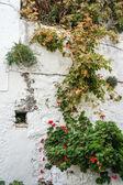 Winogron na starych murów — Zdjęcie stockowe