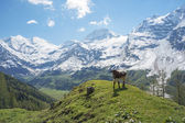 Young bull in Alps — Stock Photo