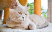Thoroughbred cat — Stock Photo