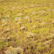 Stock Photo: Rice stubble after harvest