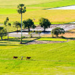 Farmers and the cows go out and work, the field in the early morning, the Mekong delta, Vietnam — Stock Photo
