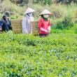 Local women with vietnamese conical hat and carry basket on the tea field, Lam Dong province, Vietnam — Stock Photo