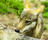 Pack of wolfs — Stock Photo