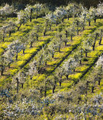 Beautiful apple orchard — Stock Photo