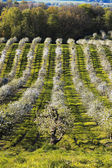 Beautiful apple orchard — Stock Photo