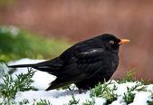 Blacbird — Stock Photo