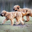 Funny dogs frolicking in the park — Stock Photo