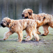 Stock Photo: Funny dogs frolicking in the park