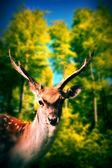 Ciervos en el bosque — Foto de Stock