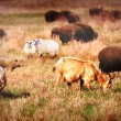 Sheep on field - Stock Photo