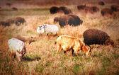 Sheep on field — Stock Photo