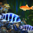 Small goldfish among other fish - Stock Photo