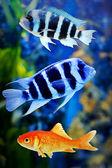 Goldfishamong other fish — Stock Photo