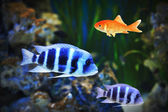 Small goldfish among other fish — Stock Photo