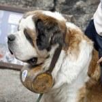 Bernardine hond — Stockfoto