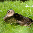 Stock Photo: Duck on grass