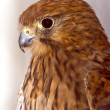 Kestrel posing - Stock Photo