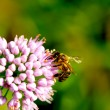 Bee on the flower — Stock Photo