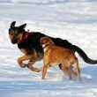 Dogs playing in snow — Stock Photo #14156664
