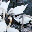 Swans and ducks — Stock Photo #14156866