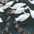 Swans and ducks — Stock Photo #14156873
