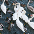 Swans and ducks — Stock Photo #14156877