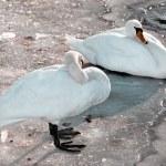 Swans and ducks — Stock Photo #14156898