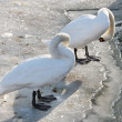 Swans and ducks - Stock Photo