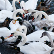Swans and ducks — Stock Photo