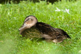 Duck on grass — Stock Photo