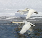Swans in flight — Stock Photo