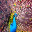 Peacock — Stock Photo #14176675
