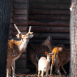 Stock Photo: Axis deer family