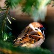 sparrow — Stock Photo #14177175