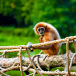 Gibbon — Stock Photo #14177844