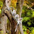 Lemurs up the tree - Stock Photo