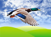 Voando drake mallard — Foto Stock